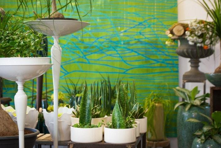Sansevieria kambarinės gėlės Ritos gėlių salone