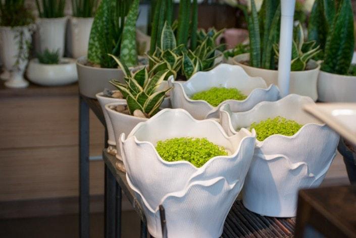 Kambarinės gėlės baltuose keraminiuose vazonuose