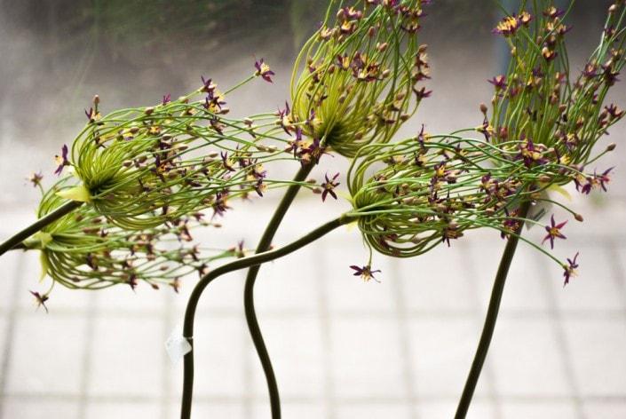 Dirbtinos gėlės - česnakai