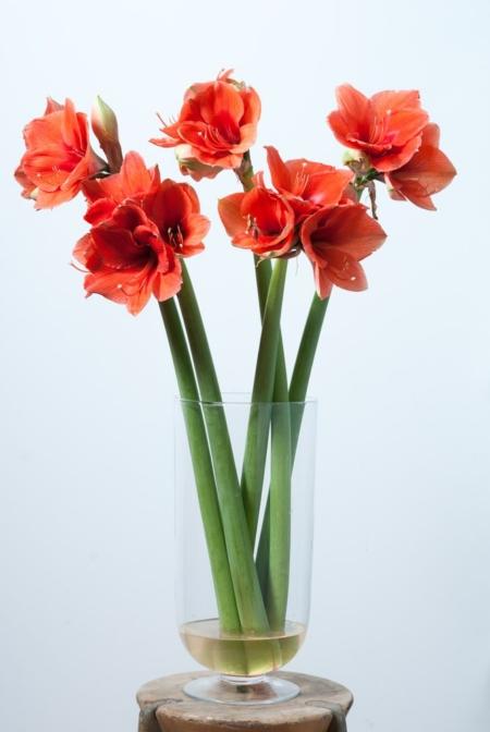 Raudoni amariliai vazoje