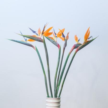 Strelicijos baltoje vazoje