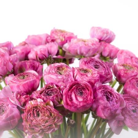 Violetiniai vėdrynai (iš arti)