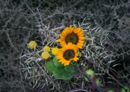 Saulėgrąžų žiedai